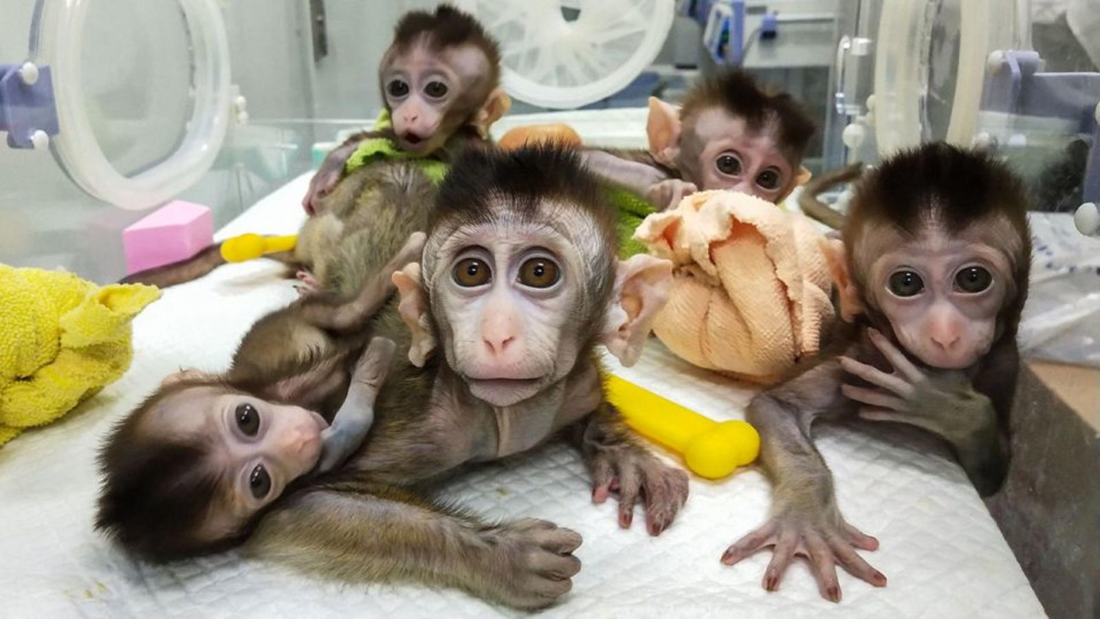 ma_0802_Crispr_animal_monkeys_1280x720-opt
